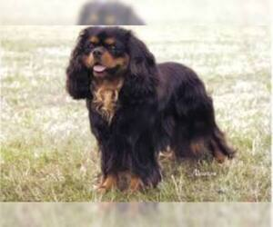 Small #4 Breed Cavalier King Charles Spaniel image