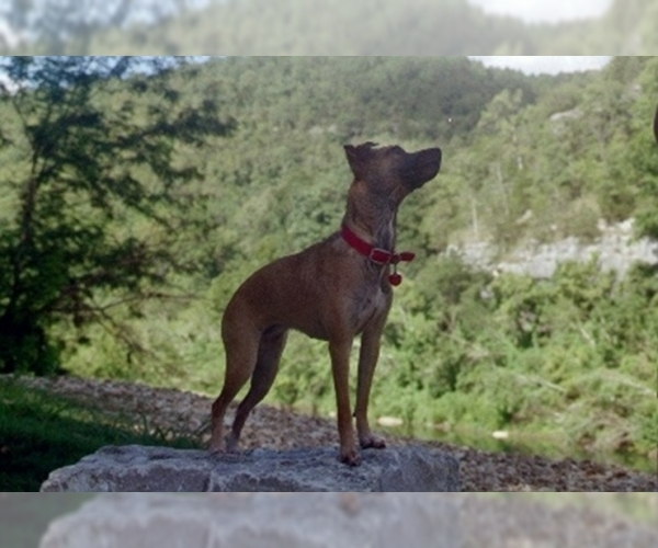 Image of Cajun Squirrel Dog Breed