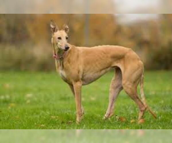Medium Photo #5 Greyhound Dog Breed