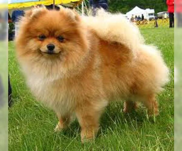 Medium Photo #7 Pomeranian Dog Breed