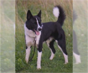 Image of Karelian Bear Dog Breed