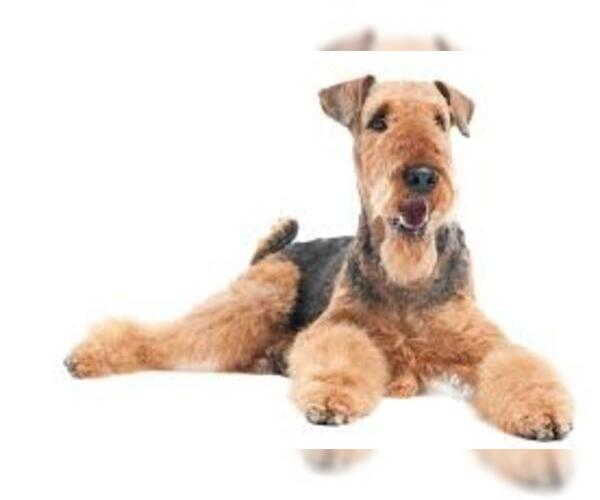 Medium Photo #3 Airedale Terrier Dog Breed