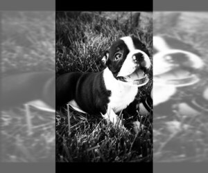 Small #2 Breed Boston Terrier image
