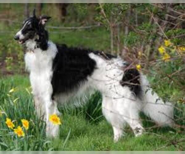 Medium Photo #2 Borzoi Dog Breed