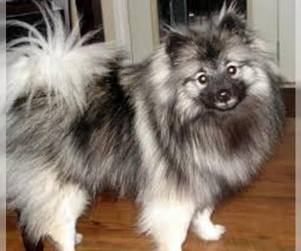 Keeshond Breed Information and Pictures on PuppyFinder.com