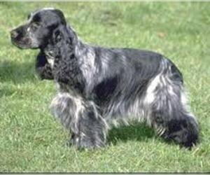 Small #6 Breed Field Spaniel image