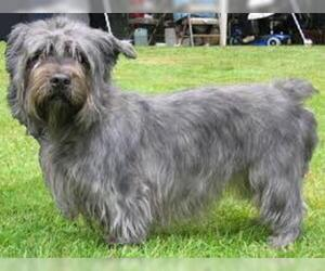 Small #4 Breed Glen of Imaal Terrier image