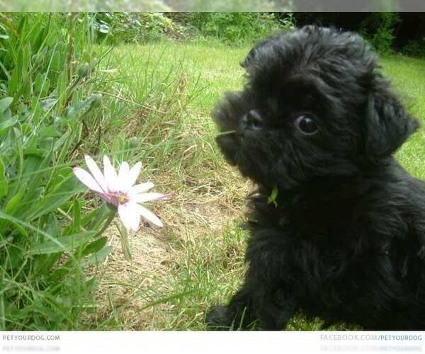 Medium Photo #3 Affen Terrier Dog Breed