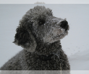 Small #11 Breed Labradoodle image