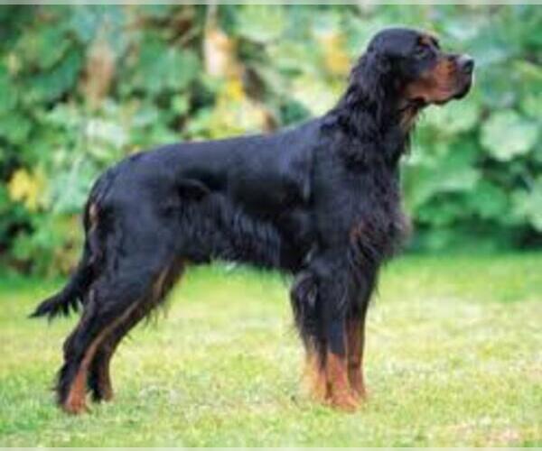 Medium Photo #6 Gordon Setter Dog Breed