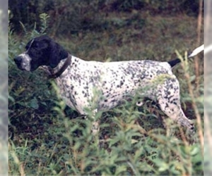 Image of breed Spanish Pointer