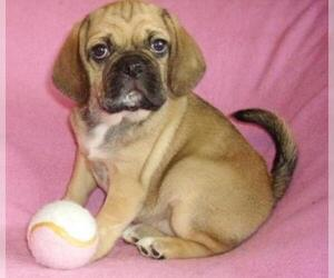 Small #5 Breed Puggle image