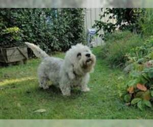 Small Photo #6 Dandie Dinmont Terrier Dog Breed