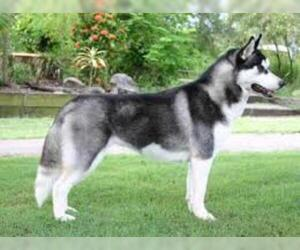 Small #2 Breed Siberian Husky image