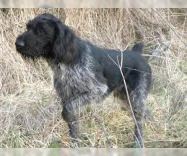 Medium Photo #7 German Wirehaired Pointer Dog Breed