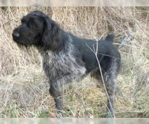 Small Photo #7 German Wirehaired Pointer Dog Breed