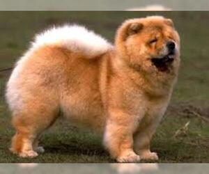 Small #2 Breed Chow Chow image