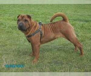 Small Photo #5 Chinese Shar-Pei Dog Breed
