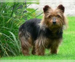 Small #4 Breed Australian Terrier image