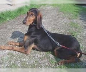 Image of Segugio Italliano breed
