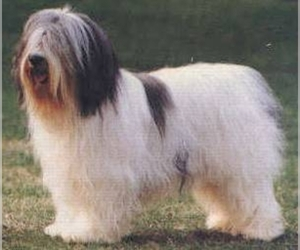 Samll image of Polish Lowland Sheepdog