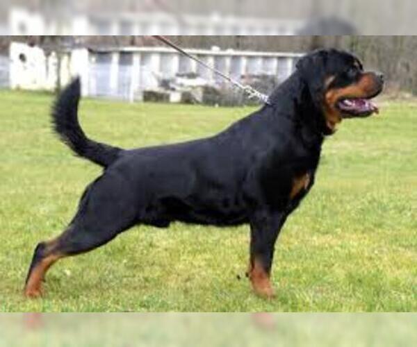 f88a750da13e72cf_Rottweiler2.jpg