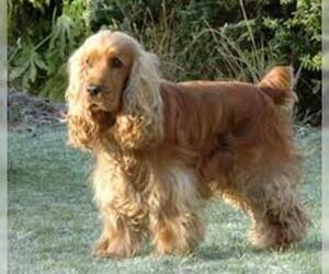 Small #1 Breed Cocker Spaniel image
