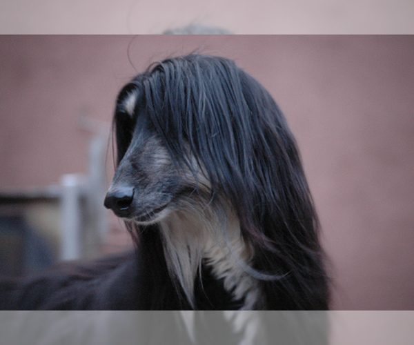 Medium Photo #17 Afghan Hound Dog Breed