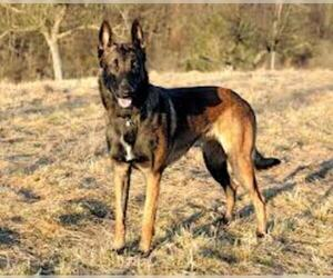 Small #5 Breed Belgian Malinois image
