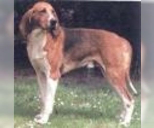 Image of Chiens Francaises Breed