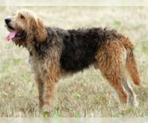 Small #3 Breed Otterhound image