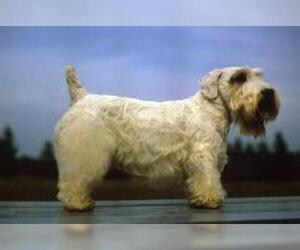 Small #2 Breed Sealyham Terrier image
