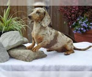 Image of Dachshund breed