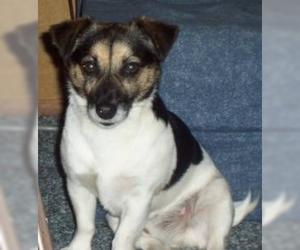 Jack-Rat Terrier