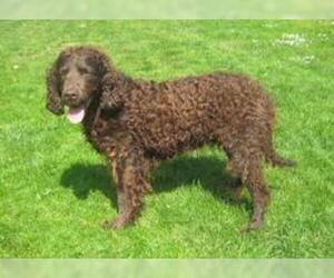 Small #1 Breed American Water Spaniel image