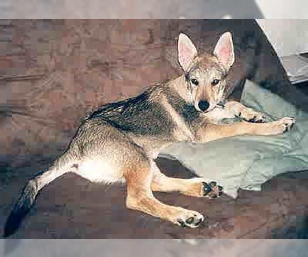Czech Wolfdog