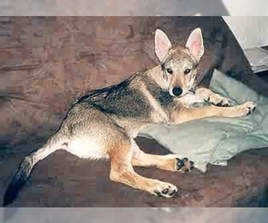 Image of Czech Wolfdog breed