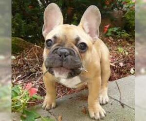 Small #2 Breed French Bulldog image
