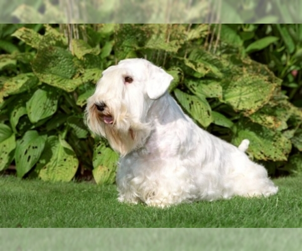 Image of Sealyham Terrier Breed