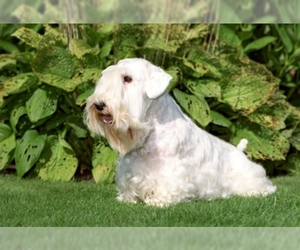 Samll image of Sealyham Terrier