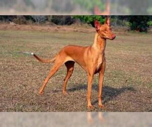 Small #4 Breed Pharaoh Hound image