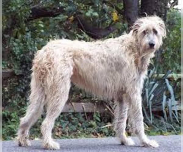 Medium Photo #3 Irish Wolfhound Dog Breed