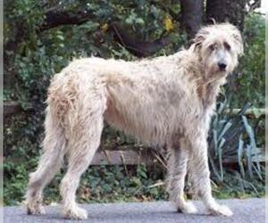 Small #2 Breed Irish Wolfhound image
