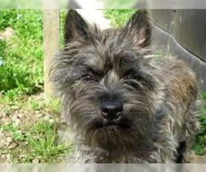 Small #1 Breed Cairn Terrier image