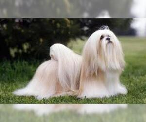 Small #4 Breed Lhasa Apso image
