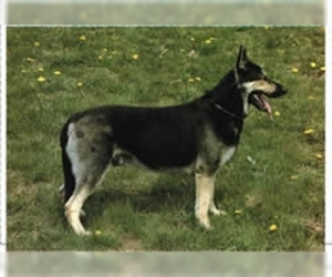 Samll image of East European Shepherd