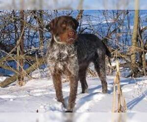 Small #3 Breed Wirehaired Pointing Griffon image
