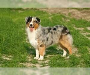 Small Photo #2 Australian Shepherd Dog Breed