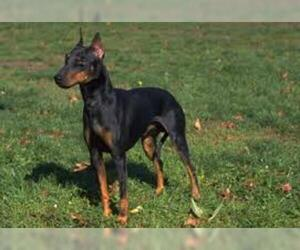 Small #1 Breed Manchester Terrier (Standard) image