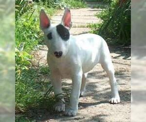 Small #3 Breed Bull Terrier image